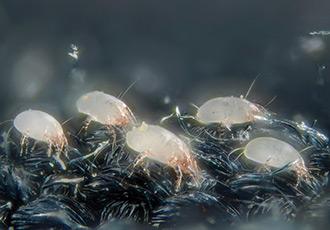 Alergia aos ácaros do colchão